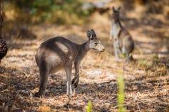 Kangaroo eating in woods Royalty Free Stock Photo