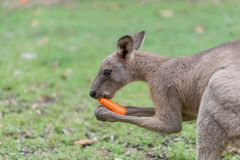 Kangaroo feeding. Kangaroo eats a carrot in the meadow Stock Image