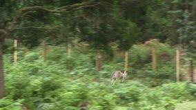 Kangaroo in an enclosure. Kangaroo moving across the ground in an enclosure stock video