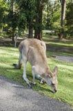 Kangaroo exploring a park Stock Photo