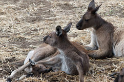 Kangaroo Family. Family of dark kangaroos from Kangaroo Island, Australia, with joey's head emerging from the mummy's pouch and daddy at the back Royalty Free Stock Photo