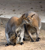 Kangaroo family. A family of Bennett's Wallaby. Macropus rufogriseus frutica royalty free stock photography