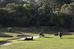 Kangaroo family, Australia Stock Photos