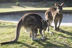 Kangaroo family, Australia Royalty Free Stock Photo