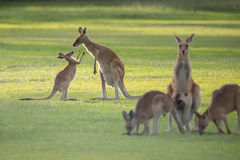 Kangaroo Family with mom and joey Stock Photo