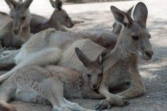 Kangaroo. Family resting kangaroo at the zoo Royalty Free Stock Images