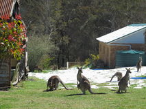 Kangaroos in snowy yard. Australian Grey Kangaroos with Joeys in their pouches grazing in a snow covered yard in the Blue Mountains, Australia Royalty Free Stock Image