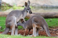 Kangaroo Feeding Stock Photo