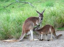 Kangaroo feeding baby joey. Kangaroo feeding hungry baby joey from pouch Stock Photography