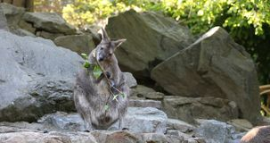 Kangaroo feeding, baby looking from female bag stock footage