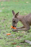 Kangaroo feeding. Kangaroo eats a carrot in the meadow royalty free stock photo
