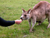 Kangaroo feeding from hand. At Geehi Campground, Australia Stock Photography