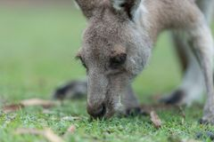 Kangaroo feeding. Kangaroo having a lunch break Royalty Free Stock Photo