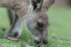 Kangaroo feeding. Kangaroo having a lunch break Stock Photography