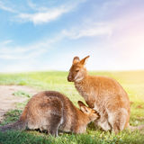Kangaroo feeding, suckling. Australia. Stock Photo