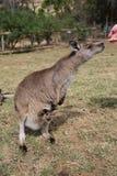 Kangaroo Feeding Stock Photography
