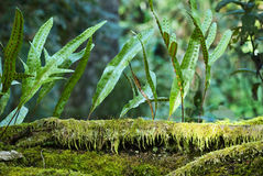 Kangaroo fern, Microsorum diversifolium Stock Photo