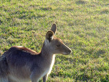 Kangaroo in Field. Kangaroo in a field near dusk royalty free stock image