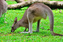 Kangaroo in the field Stock Image