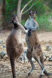 Kangaroo Fight royalty free stock photos