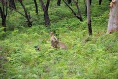 Kangaroo Fight Royalty Free Stock Photos