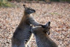 Kangaroo fight Stock Photo