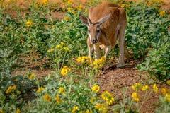 Kangaroo in Flowers. A kangaroo eating yellow flowers in the morning Royalty Free Stock Images