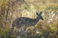 Kangaroo in flowers and grass at sunset Stock Image