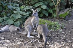 Kangaroo in the forest Stock Photography