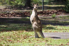 Kangaroo in forest stock photos