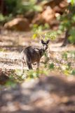 Kangaroo in the forest Stock Image