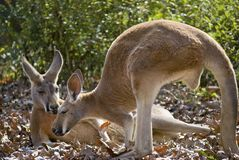 Kangaroo Friends Stock Photo