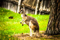 Kangaroo. The full body of a kangaroo from the side Royalty Free Stock Photography