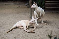 Kangaroo in the Garden Royalty Free Stock Images