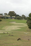 Kangaroo Golf. Kangaroos sharing a golf course in Anglesea, Victoria Royalty Free Stock Photography