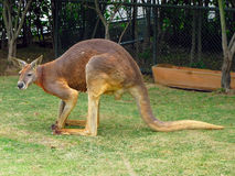 Kangaroo on grass Royalty Free Stock Image