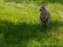 Kangaroo in the grass. A kangaroo standing still on the grass Stock Image