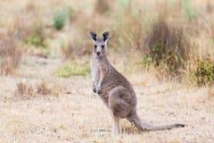 Kangaroo in the grass field, Australia Royalty Free Stock Photos