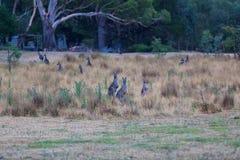 Kangaroo on the grass field in Grampians, Victoria, Australia Royalty Free Stock Photos