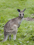 Kangaroo in grass Stock Image