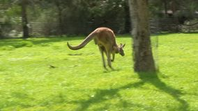A kangaroo and a grassy field stock footage