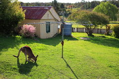 Kangaroo grazing in yard at Hill End. Australian countryside living with a wild Kangaroo grazing in the yard under the rotary clothes dryer. At Hill End, a Stock Photography