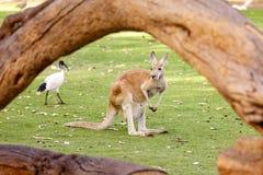 Kangaroo on the green field Royalty Free Stock Photography