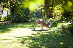 Kangaroo on the green grass Stock Image