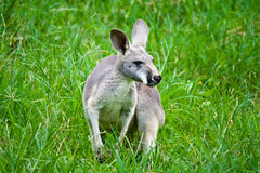 Kangaroo on green grass Stock Image