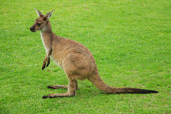Kangaroo on green grass Royalty Free Stock Image
