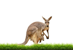 Kangaroo with green grass isolated. On white background Stock Photos