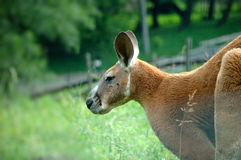 Kangaroo on green grass Stock Image