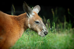 Kangaroo on green grass Stock Photography