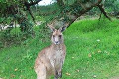 Kangaroo. Grey kangaroo in zoo park Royalty Free Stock Images